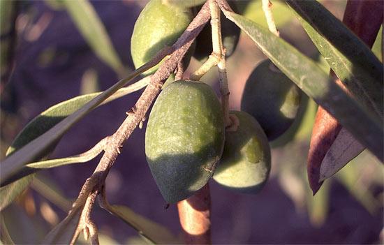 オリーブ油が生で食べれる理由は果汁だから