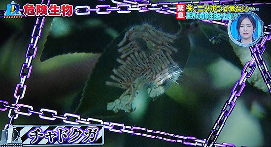 それはチャドクガという蛾の毛虫(幼虫)